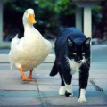 Cat and Duck